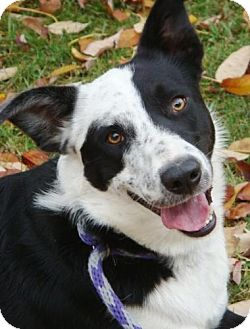 Border Collie Mix Dog for adoption in Red Bluff, California - Kidd