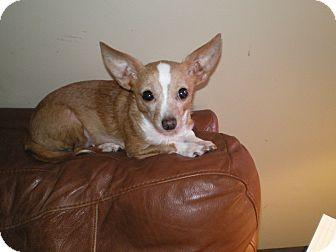 Chihuahua Mix Dog for adoption in Apex, North Carolina - Pearl