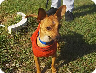 Chihuahua Mix Dog for adoption in Jacksonville, Florida - Oliver