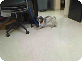 Shih Tzu Mix Dog for adoption in Antioch, Illinois - Missy ADOPTED!!