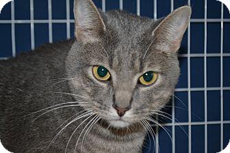 Domestic Shorthair Cat for adoption in Edwardsville, Illinois - Pilgram