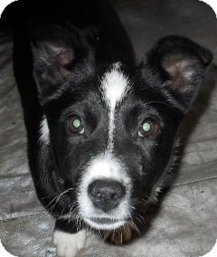 Border Collie/Australian Cattle Dog Mix Dog for adoption in dewey, Arizona - Kerry