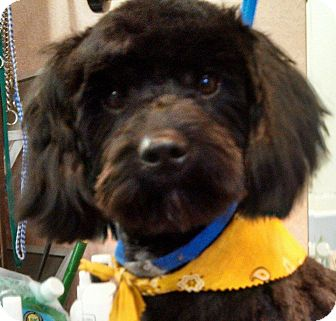 Poodle (Miniature)/Schnauzer (Miniature) Mix Dog for adoption in Seattle, Washington - Beau""