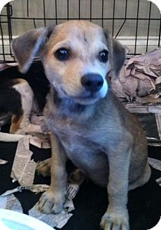 Dachshund/Beagle Mix Puppy for adoption in Nashville, Tennessee - LARRY