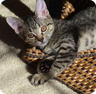American Shorthair Kitten for adoption in Palatine, Illinois - Echo