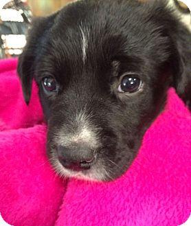 Labrador Retriever/Border Collie Mix Puppy for adoption in Dallas, Texas - Gabby
