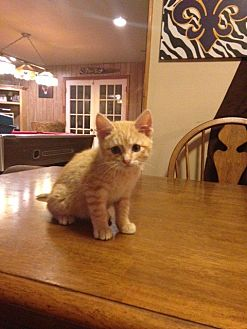 Domestic Shorthair Cat for adoption in Baton Rouge, Louisiana - Hugo