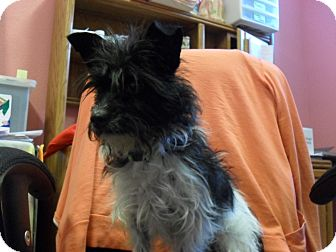Terrier (Unknown Type, Small) Mix Dog for adoption in Fort Lupton, Colorado - Pippin