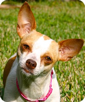 Chihuahua Dog for adoption in Ft Myers Beach, Florida - What a Pity