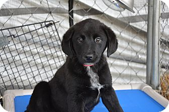 Border Collie/Labrador Retriever Mix Puppy for adoption in Groton, Massachusetts - Gene Simmons