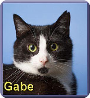 Domestic Shorthair Cat for adoption in Aldie, Virginia - Gabe
