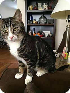 Domestic Shorthair Cat for adoption in Long Beach, New York - Winnie
