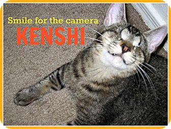 Domestic Shorthair Kitten for adoption in Tucson, Arizona - Kenshi