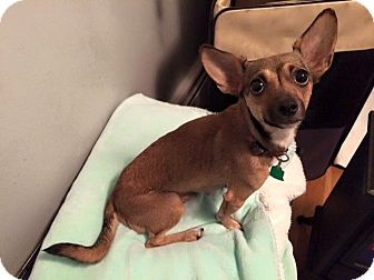 Chihuahua Dog for adoption in Newtown, Connecticut - Peach
