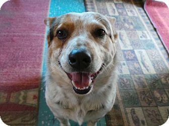 Cattle Dog Mix Dog for adoption in Manhattan, Kansas - Ronnie