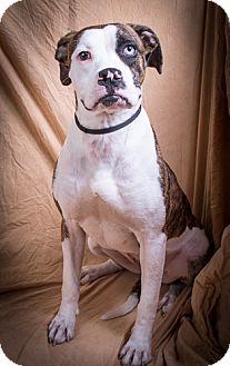Boxer Mix Dog for adoption in Anna, Illinois - CHLOE