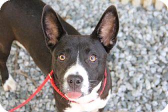 Pit Bull Terrier Mix Dog for adoption in Greensboro, North Carolina - May