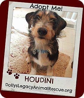 Border Terrier Mix Dog for adoption in Lincoln, Nebraska - HOUDINI
