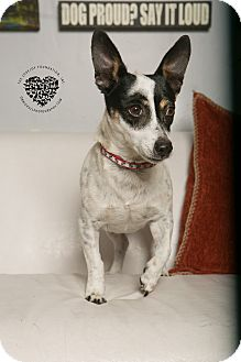 Jack Russell Terrier Mix Dog for adoption in Inglewood, California - Jack