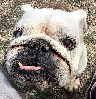 English Bulldog Dog for adoption in Santa Ana, California - Tuesday