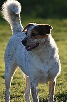 Australian Cattle Dog Mix Dog for adoption in Jarrell, Texas - Ledger