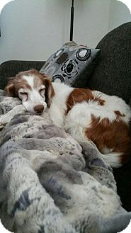 Brittany Dog for adoption in Oroville, California - CO/Penny (ADOPTION PENDING!)