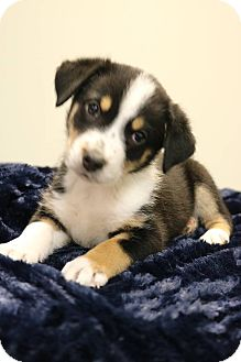 Australian Shepherd/Beagle Mix Puppy for adoption in Hagerstown, Maryland - Swan