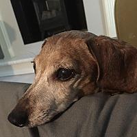 Dachshund Dog for adoption in Ardsley, New York - Lola