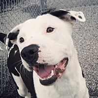 American Staffordshire Terrier Mix Dog for adoption in Walton County, Georgia - Pancake