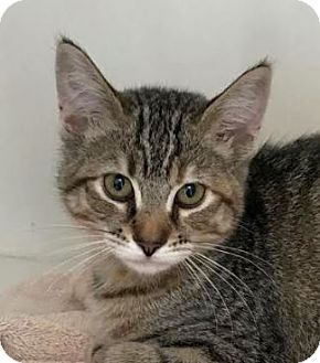 Domestic Shorthair Kitten for adoption in Red Bluff, California - Amelia