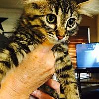 Adopt A Pet :: Lindt - Bastrop, TX