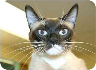 Siamese Cat for adoption in Phoenix, Oregon - Suki