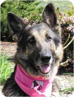 German Shepherd Dog Dog for adoption in San Diego, California - Nikki