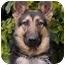 Photo 2 - German Shepherd Dog Dog for adoption in Los Angeles, California - Meadow von Meisenstadt