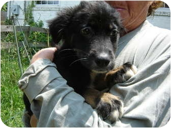 Border Collie/Shepherd (Unknown Type) Mix Puppy for adoption in Bel Air, Maryland - Lyla