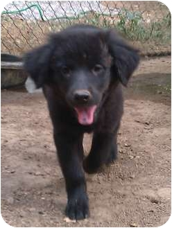 Spaniel (Unknown Type)/Golden Retriever Mix Puppy for adoption in Windham, New Hampshire - Natasha