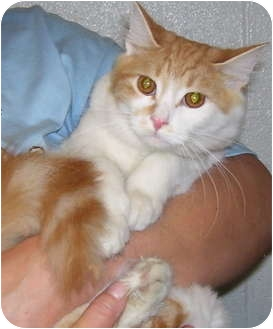 Domestic Longhair Cat for adoption in Somerset, Pennsylvania - Toothy