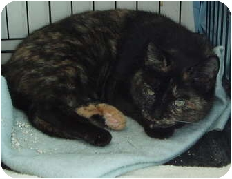 Domestic Shorthair Cat for adoption in Westfield, Massachusetts - No Name Yet