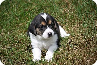Beagle/Border Collie Mix Puppy for adoption in West Milford, New Jersey - TAFFY