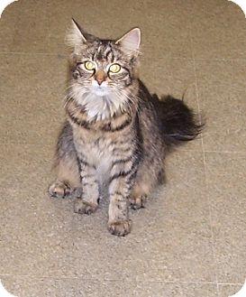 Domestic Longhair Cat for adoption in Somerset, Pennsylvania - Kayla