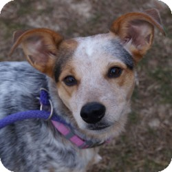 Australian Shepherd/Cattle Dog Mix Dog for adoption in Eatontown, New Jersey - Isabelle