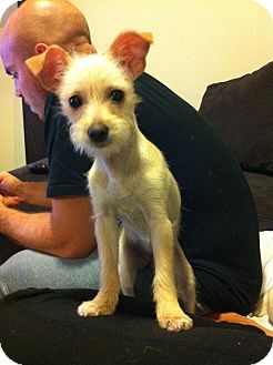 Yorkie, Yorkshire Terrier/Chihuahua Mix Puppy for adoption in Chicago, Illinois - PEGGY