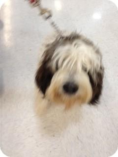 Basset Griffon Vendeen Dog for adoption in waterbury, Connecticut - napoleon
