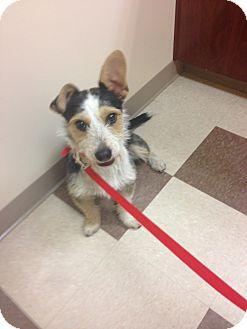 Jack Russell Terrier/Cardigan Welsh Corgi Mix Dog for adoption in Media, Pennsylvania - Dutch
