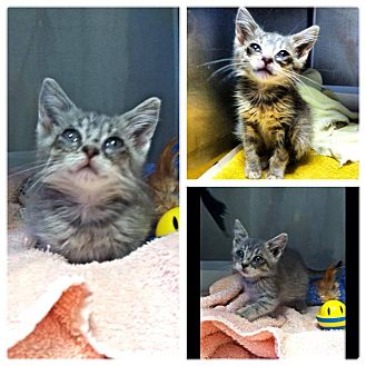 Domestic Shorthair Kitten for adoption in Franklin, Indiana - MINNIE