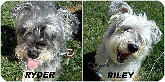 Schnauzer (Miniature) Mix Dog for adoption in Franklin, Indiana - Riley