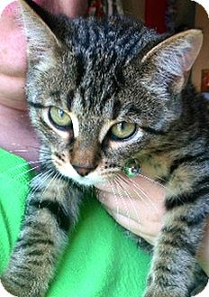 Domestic Shorthair Kitten for adoption in Green Bay, Wisconsin - Andre