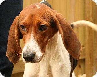 Treeing Walker Coonhound/Coonhound Mix Dog for adoption in Snohomish, Washington - Talulah, Tenacious Hound Girl!
