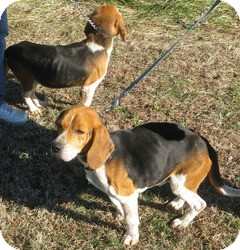 Beagle Mix Dog for adoption in Mineral, Virginia - Mutt & Jeff