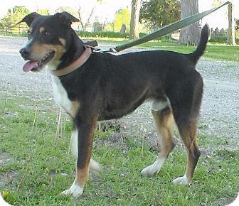 Cattle Dog Mix Dog for adoption in Grinnell, Iowa - Buster